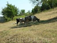 Местные коровы.