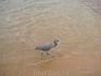 цапля серая на пляже