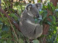Снова коала