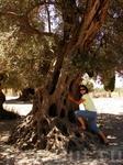 Древнее оливковое дерево.