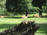 А это олени, при желании можно зайти в их загон и погладить животных