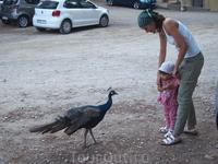 Павлин отнимает у ребенка печенье