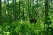 Прямо возле музея Русских суеверий , встретили в лесу лося. Он нисколько не испугался, выдержал всю мою фотосессию и прямо даже позировал мне  в течении ...