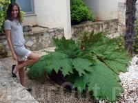 вот это листья! гигантский лопух :))