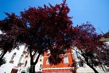 Дерево с листьями необычного цвета. Пореч