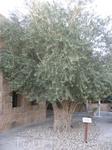 оливковое дерево в отеле