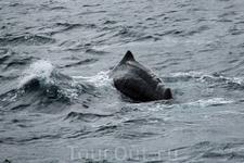 Опять брызги и фонтаны появились. Тот же самый кит или другой, не могу сказать, но  тушка у него шикарная. Сколько же весит этот гигант???