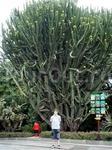 Вот такой большой кактус вырос