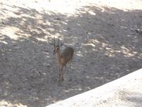 Дитеныш газели даби - одного из почитаемых животных.