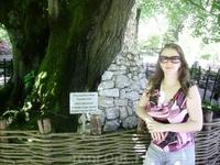 Сухум. Ботанический сад.  Липа возрастом более 350 лет.