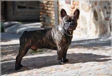 собака из Толедо..