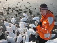 зимой на реке висла можно увидеть лебедей и уток, которые прилетели сюда на зимовку