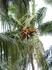 Кокосовая пальма.