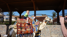 местный верблюд Макс