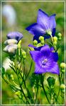 Вилландри,сады,цветы