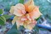 Цветы родоса