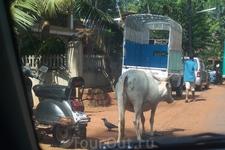 Коров в Индии очень много, корова - священное животное, поэтому коровам везде дорога!!