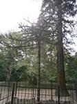 чудо чудное, диво дивное. чилийская  елка с необычными закрученные вокруг веток  иголками. Этому чуду уже 150 лет