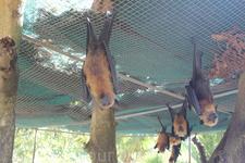 Летучии лисицы, питаются фруктами
