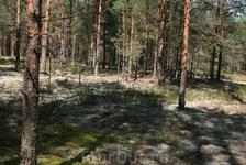 чудные псковские сосновые леса, гуляешь как по мягкому коврику по белому мху, лес прозрачный...видно далеко...красотища)