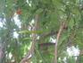 местное стручково-цветущее дерево