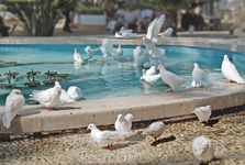 Все дикие голуби в Бенидорме белые!