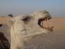 Не кастрированный, злой верблюд.