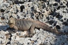 непосредственно игуана -объект фотосессий туристов на острове Игуан. Кайо-Ларго