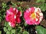 Двухцветную розу видела впервые