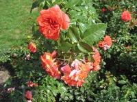 Розы, весь город в зелени в цветах, но розы, они и правда благоухают.