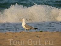 Наглая обзорская чайка