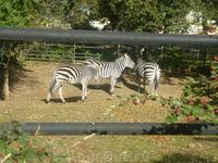 зоопарк. зебры