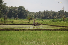 Тяжелый труд- выращивание риса...