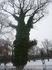 дерево обвитое зеленым плющом зимой.как в сказке*Морозко*,где деревья бегают.