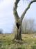 Дерево рядом с храмом Святой Троицы, в деревне Доможирка Гдовского района.