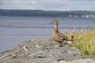 Утки тоже любят прогуляться по благоустроенной территории...