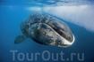 Гренландский кит - относится к числу самых крупных представителей земной фауны. Жизнь этих китов длится до двухсот лет, однако этот вид находится под угрозой ...