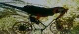 Цирк попугаев. Цирк попугаев. Велосипедист.