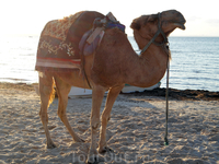 Местный верблюд