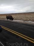 Местная достопримечательность - почти вымершие, но воскресшие тут знаменитые быки Баффало.