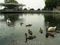 Лебедь Вовка и его семейство...)))