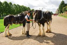Hampton Court Palace. Днём лошадки катают по парку уставших туристов, а утром их хозяева почему-то были против фотосессии...