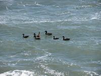 утки балдеют на волнах