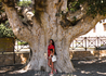 Ficus Sycomorus, монастырь Айя-Напа