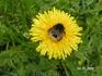 пчелка тоже любит одуванчики