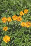 цветы тянь-шаня