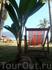 когда-то это будет высокая пальма, а сейчас это всего-лишь проросший кокос