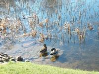 Перекормленные уточки на озере Друсконис )))) Глядя на то, как они лениво подплывают к хлебушку, брошенному им, возникала мысль, что делают они это исключительно ...