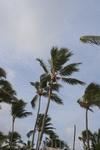 на пальме абориген срубает лишние ветви