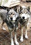 Лапландский парк собак. ЛЕВИ, Лето 2010